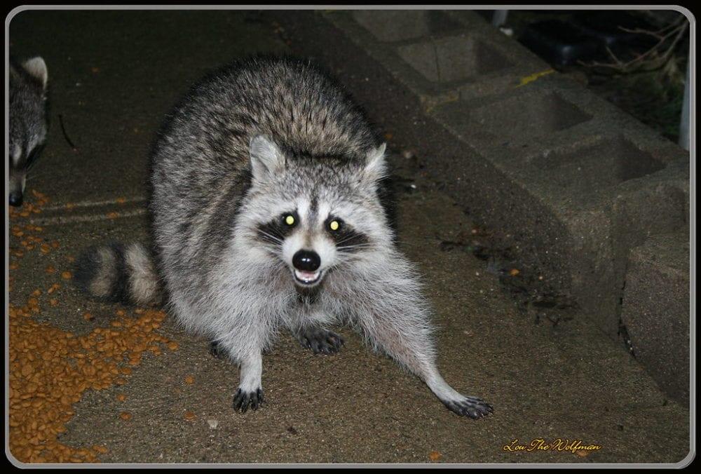 racoon that looks surprised